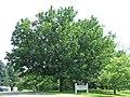 Quercus mongolica mongolian oak MN 2007.JPG