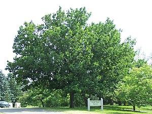 Quercus mongolica - Mongolian oak