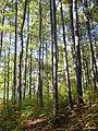 Quercus petraea Navarra.JPG