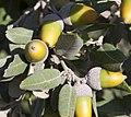 Quercus rotundifolia acorns Croatia.jpg