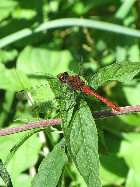 Sympétrum rouge sang mâle