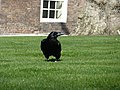 Rabe im Tower of London - panoramio.jpg