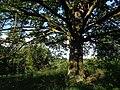 Rachcin-Oak.jpg