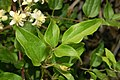 Ranuncolaceae - Clematis vitalba-3.JPG