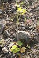 Ranunculus cortusifolius IMG 4822 tenerife chio.JPG