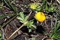 Ranunculus eschscholtzii 0317.JPG