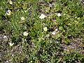 Ranunculus kuepferi01.jpg