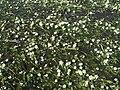 Ranunculus peltatus 1.JPG