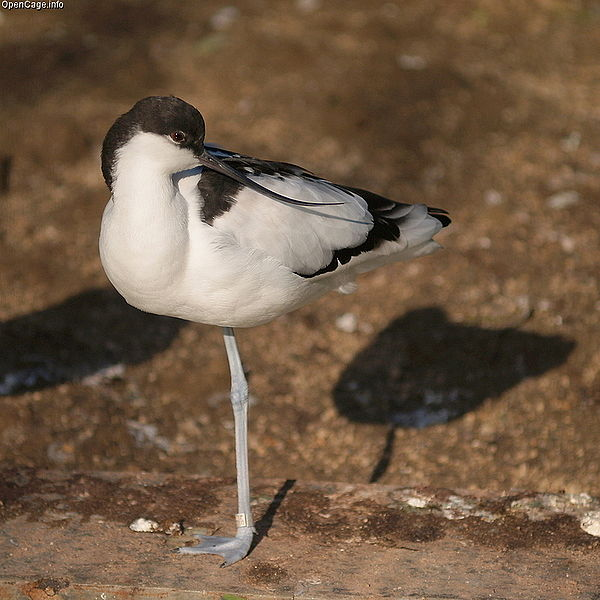Ficheiro:Recurvirostra avosetta(tennouji zoo).jpg