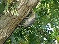 Red-Bellied Woodpecker (4679009502).jpg