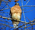Red-Shouldered Hawk. 12-18-13.7.jpg