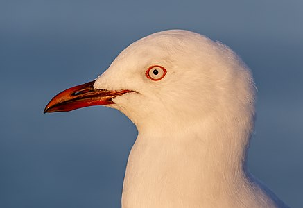 Red-billed gull portrait