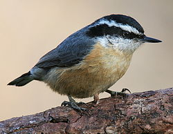 Red-breasted-Nuthatch-3c.jpg