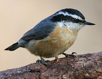 Nuthatch - Image: Red breasted Nuthatch 3c