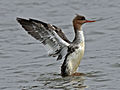 Red-breasted Merganser female RWD3.jpg