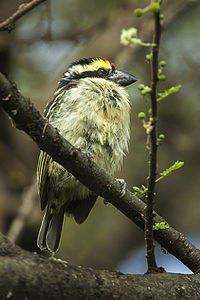 Red-fronted Barbet - Kenya NH8O1387 (16221010088).jpg