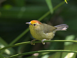 Red-headed Babbler 4021.jpg