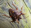 Red-legged Sheild bug Pentatoma rufipes. - Flickr - gailhampshire.jpg