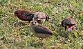 Red Avadavat (Amandava amandava)- In flock in Kolkata W IMG 3313.jpg