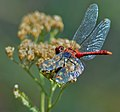 Red Dragonfly Greater Crimson Glider. Cozachyi island, Kyiv.jpg