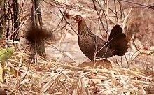 Coq doré ou Bankiva dans POULE et COQ 220px-Red_Junglefowl_hen_India