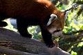 Red Panda (1391762198).jpg
