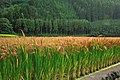 Red Rice Paddy field in Japan 004.jpg