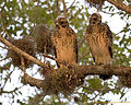 Red Shouldered Hawks, NPSPhoto, R. Cammauf (9099288549).jpg