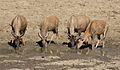 Red hartebeest drinking (11155117843).jpg