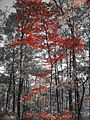 Red leaves (1698855732).jpg