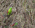 Red shouldered parrot 4 (17164644139).jpg