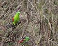 Red shouldered parrot 4 (17164644139).jpg