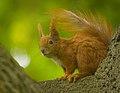 Red squirrel (28704589778).jpg