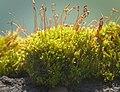 Redshank moss (50078456771).jpg