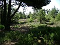 Regenerating forest, Ideford Common - geograph.org.uk - 1371442.jpg