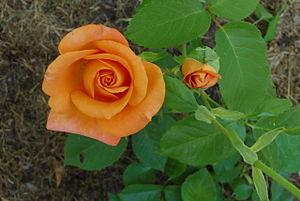 Remy martin rose.jpg