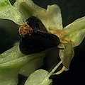 Reynoutria japonica fruit (27).jpg