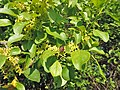 Rhamnus cathartica kz03.jpg