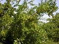 Rhamnus lycioides 2a.jpg