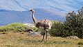 Rhea pennata, road to Torres del Paine.jpg
