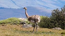 Rhea pennata, road to Torres del Paine.jpg