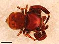 Rhetenor texanus male holotype.jpg