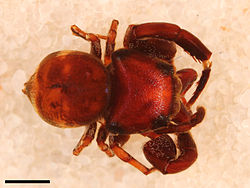Rhetenor texanus male holotype.jpg