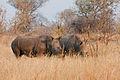 Rhino Pair at Mosi-Oa-Tuniya.jpg