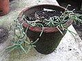 Rhipsalis pilocarpa-BSI-yercaud-salem-India.JPG