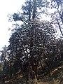 Rhododendron29.jpg