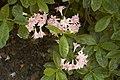 Rhododendron Raphael De Smet A.jpg