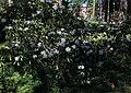 Rhododendron Tuiranpuisto Oulu 20180521 02.jpg