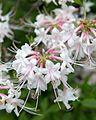 Rhododendron alabamense (Alabama Azalea) (27254491580).jpg