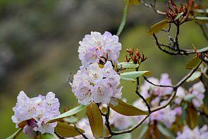 Rhododendron campanulatum.jpg